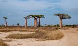 Fototapeta Sawanna - Gruppo di giganteschi baobab nella savana intorno a Morondava