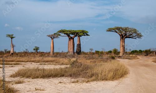 Staande foto Baobab Gruppo di giganteschi baobab nella savana intorno a Morondava