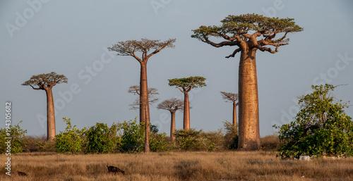 Keuken foto achterwand Baobab Baobab sull'Allèe des Baobab vicino Morondava
