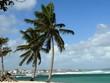 Cocotiers sur le pLage de l'Autre bord, commune du Moule en Guadeloupe