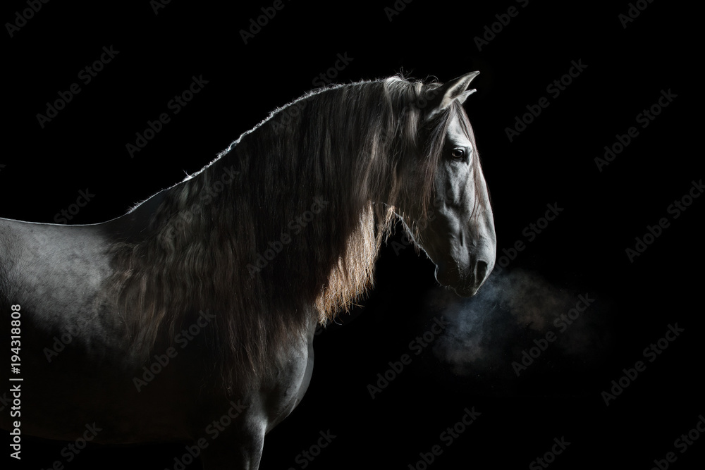 Fototapeta Silhouette of a gray Andalusian horse with long mane and steam from nostrils isolated on black background