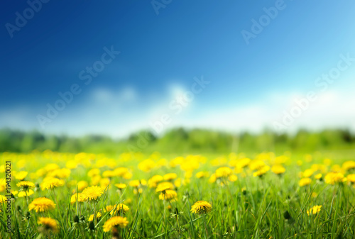 Fotografie, Obraz  field of spring flowers and perfect sky