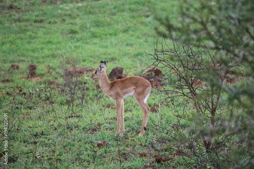 Deurstickers Antilope Baby Antilope