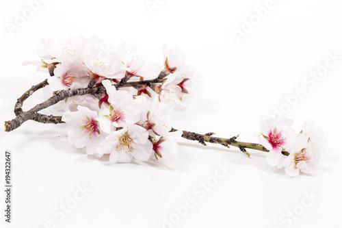 Fotomural almond tree branch