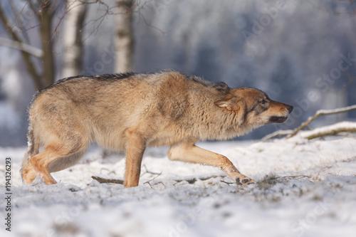 фотография  Wolf im Winter