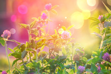 Wild Flowers Of Clover In A Meadow Nature. Natural Summer Background With Wild Flowers Of Clover In The Meadow In The Morning Sun Rays Close-up With Soft Blurred Focus.