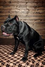 Cane Corso Black Dog, On A Bro...