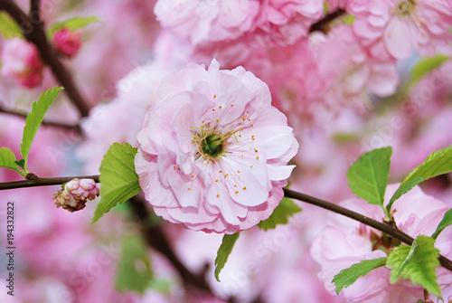 Fototapeta Fine pink flower Almonds trilobate obraz na płótnie