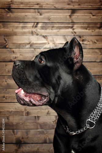 Cane Corso Black Dog On A Brown Background Buy This Stock Photo