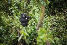 Baby Mountain Gorilla Resting ...