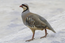 A Portrait Of A Chukar Partridge Strutting Around On A Rock In The Desert.