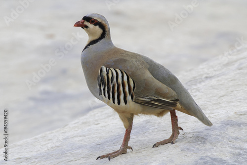 Fotografie, Obraz A portrait of a chukar partridge strutting around on a rock in the desert
