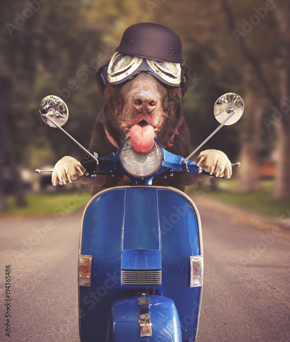 Photo Stands Scooter chocolate lab wearing goggle riding on a scooter down a residential urban street with a helmet on and his tongue out toned with a retro vintage instagram filter