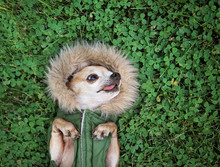 Cute Chihuahua Lying In Green ...