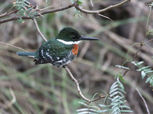Green Kingfisher Perched