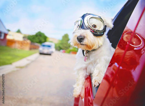 Fototapeta west highland white terrier with goggles on riding in a car with the window down through an urban city neighborhood on a warm sunny summer day obraz