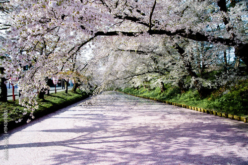 青森 弘前城の花筏 /弘前城の堀の水面が、散った桜の花びらで埋め尽くされている風景 Wallpaper Mural