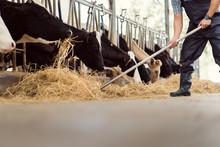 Farmer Is Feeding The Cows. Co...