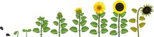 Sunflower Life Cycle. Growth S...
