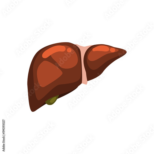 Human liver, internal organ anatomy vector Illustration on a white ...