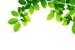 Grüne Blätter einer Buche als Freisteller vor weißem Hintergrund