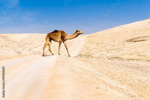 Poster Chameau Camel crossing desert road pasturing, Dead sea, Israel.