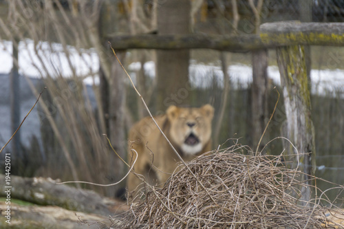 Fototapeta Focus on tangled twigs in the foreground with a lioness roaring in the backgroun