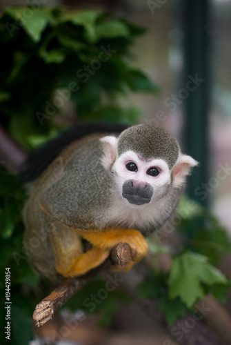 Photo  Common squirrel monkey