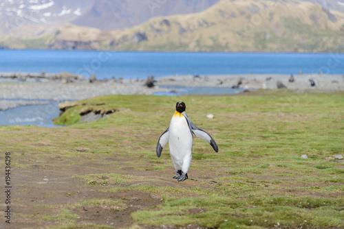 King penguin on South Georgia