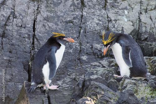 Macaroni penguins on rock