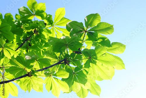 Весенние каштановые листья. Каштановые листья на фоне неба. Весенние настроение.