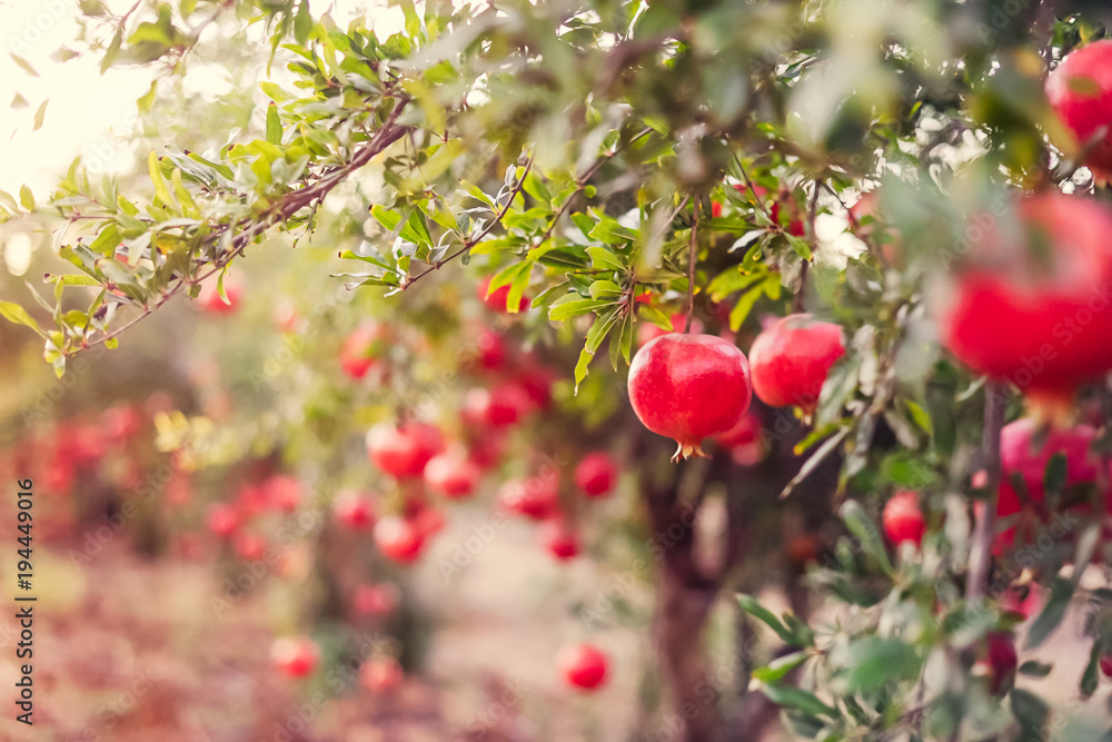 Fototapety, obrazy: Ripe pomegranate fruits hanging on a tree branches in the garden. Harvest concept. Sunset light. soft selective focus, space for text.