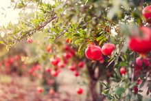 Ripe Pomegranate Fruits Hanging On A Tree Branches In The Garden. Harvest Concept. Sunset Light. Soft Selective Focus, Space For Text.