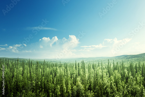 Photo sur Aluminium Forets fir tree forest in sunny day