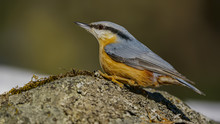 Eurasian Nuthatch Sitting On R...