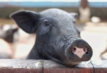 Selective Focus At Heart Shape On Black Piglet Nose / The Piglet Put His Head On The Brick Wall / Concept Of Valentine , Love Sign And Cute Animal