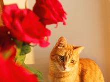 Roses Background, Ginger Cat. ...
