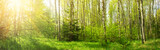Fototapeta  - birch forest panorama in summer. Sun in the park