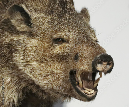 Photo A Close Up Peccary, Also Called Javelina