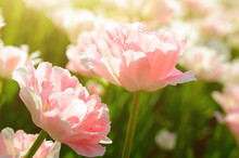 Light Pink Tulips Filled With ...