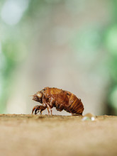 Cicada Eclosion In Wild