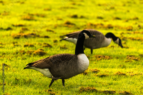 Fotografía  Wild geese on the meadow nibbling the grass, green juicy grass