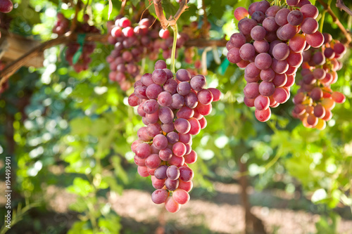Canvas Print Red Seedless Table Grapes