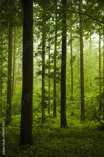 Papiers peints Foret brouillard Beautiful european forest while summer day.