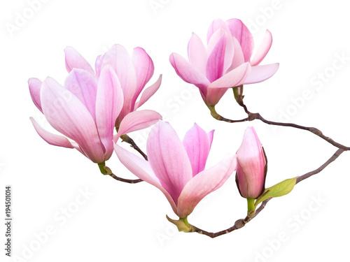 Foto op Plexiglas Magnolia Magnolien in voller Blüte als Freisteller vor weißem Hintergrund