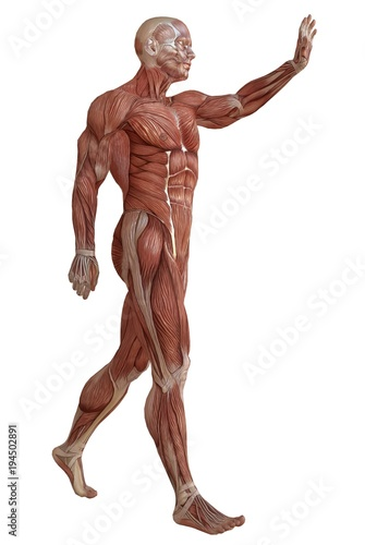 Cuadros en Lienzo Male body without skin, anatomy and muscles 3d illustration isolated on white