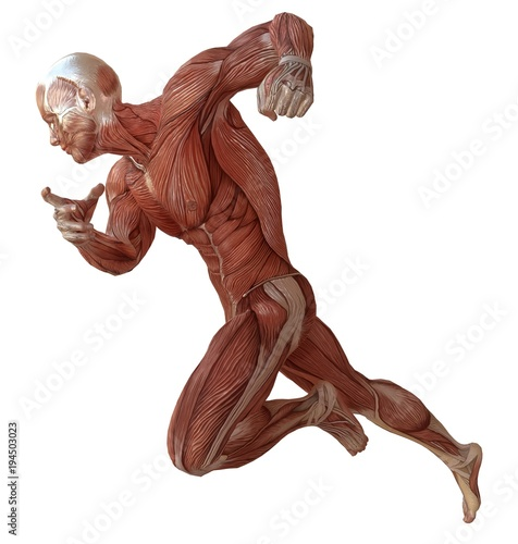 Fotomural Male body without skin, anatomy and muscles 3d illustration isolated on white