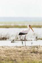 Yellow-billed Stork In Chobe River