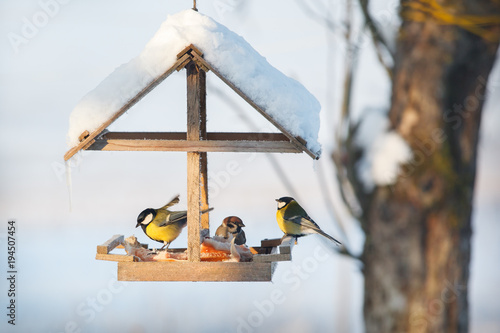 Fotografie, Tablou Three tit in the snowy winter bird feeder eating pork fat