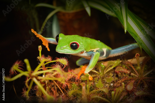 Tuinposter Kikker Red yea frog touching carnivorous plant in the terrarium
